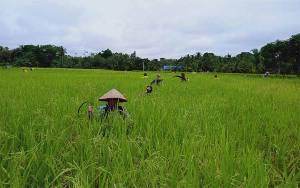 Petani di Barito Timur Keluhkan Kelangkaan Pupuk Subsidi