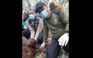 BKSDA dan OFI Juga Evakuasi Induk dan Bayi Orangutan di Jalan Jendral Sudirman Km 11 Sampit