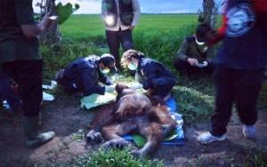 BKSDA Selamatkan Orangutan Terluka Parah Karena Senjata Tajam