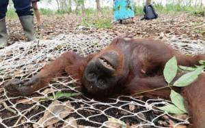 BKSDA Selamatkan 3 Ekor Orangutan di Kotim Dalam Sehari