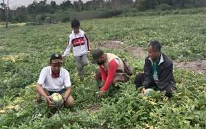 Desa Saka Lagun Miliki Potensi Pembudidayaan Buah Semangka
