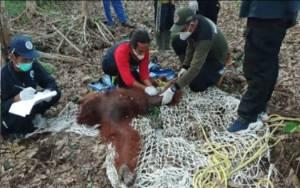 Video Evakuasi Induk dan Bayi Orangutan di Kotim