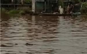 Video Buaya Muncul di Sungai Arut
