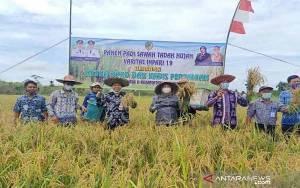 Barito Utara Panen Padi Varietas Inpari 19 di Sawah Tadah Hujan