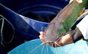 KKP Kembangkan Strain Unggulan Ikan Lele Mutiara