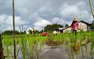 Petani di Dadahup Kapuas Ini Optimis Program Food Estate Berhasil
