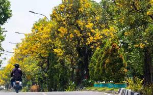 Bunga Tabebuya Percantik Kawasan Jalan di Surabaya