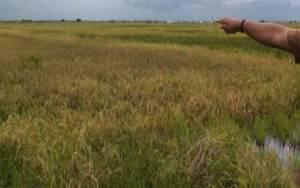 Kerugian Petani di Desa Lampuyang Diperkirakan Miliaran Rupiah