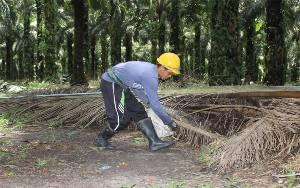 Potensi PAD Sektor Perkebunan di Pulang Pisau Rp 600 Miliar