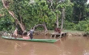 Pulau Salat Hanya untuk Menempa Orangutan Sebelum Siap Dilepasliarkan di Taman Nasional