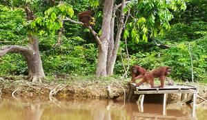 2.000 Hektar Hutan Didedikasikan untuk Konservasi Orangutan