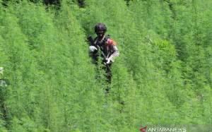 Bareskrim Polri Temukan 5 Hektare Ladang Ganja
