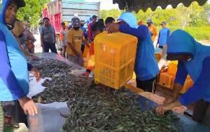 Hasil Produksi Udang Vaname di Kecamatan Pantai Lunci Capai 50,69 Ton