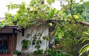 Pohon Tumbang Akibat Angin Kencang di Sampit Timpa Perkantoran