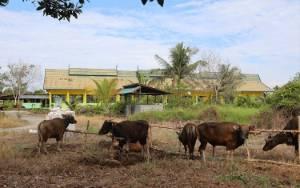 Pemprov Kalteng Anggarkan Rp7,5 Miliar untuk Sapi Kurban