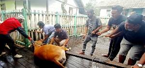 8 Ekor Sapi Kurban Dipotong di Masjid Al Muthmainnah, Daging Dibagikan ke Masyarakat