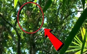 Orangutan Bekas Peliharaan Muncul Kembali di Desa Bapanggang Raya Setelah Kabur 5 Tahun