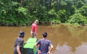 Bekantan Hanyut di Sungai Mentaya Dikembalikan ke Habitat Aslinya