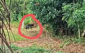Beruang Madu Masuk Pemukiman Resahkan Warga, BKSDA Pangkalan BUN Turun Tangan