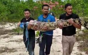 BKSDA, Damkar Kobar dan Komunitas Pencinta Reptil Tangkap Buaya Di Kolam Bekas Kerukan Pasir
