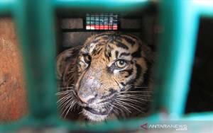 Remaja Ditemukan Tewas dengan Kondisi Tanpa Kepala dan Alat Kelamin Diduga Diterkam Harimau