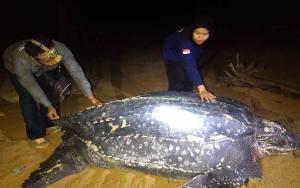 Penyu Terbesar di Dunia Muncul di Pantai Paloh Kalbar