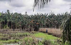 Terdampak Banjir, Petani Desa Kumpai Batu Bawah Harapkan Perhatian Pemerintah