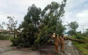 Pohon Tumbang ke Jalan di Sampit saat Hujan Deras Disertai Angin Kencang