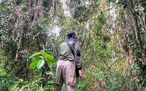 Sehari 2 Kali Laporan Gangguan Orangutan, Begini Hasilnya Setelah BKSDA Cek Lokasi