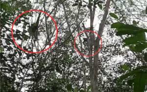 Observasi Orangutan di Bapanggang Raya, BKSDA Temukan Pemandangan Menakjubkan