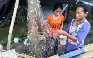 Banjir Kembali Melanda, Warga Katingan Ramai-ramai Tangkap Ikan Saluang