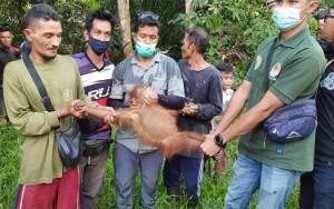 Induk dan Anak Orangutan di Desa Bapanggang Raya Akhirnya Diselamatkan
