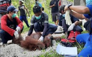 Hasil Swab Negatif, Orangutan di Desa Bapanggang Raya Langsung Dibawa ke Pangkalan Bun