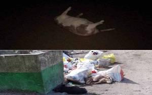 Viral, Babi Mati Terserang Virus Dibuang di Bak Sampah Hingga ke Sungai