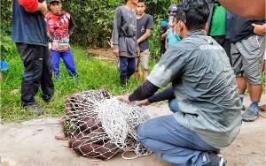Orangutan Kembali Muncul di Kebun Nanas Warga Lingkar Kota Selatan Sampit