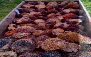 Pak Haji Mengaku yang Melarang Warga Panen Sawit di Lahan Gapoktan